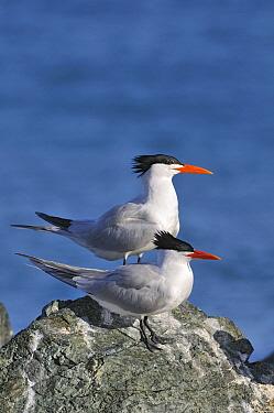 Royal Tern (Thalasseus maximus) pair, Tobago  -  Jan Baks/ NiS
