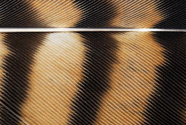 Common Buzzard (Buteo buteo) feather, Antwerp, Belgium  -  Danny Laps/ NiS