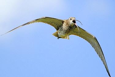 Eurasian Curlew (Numenius arquata) calling while flying, Groot Schietveld, Antwerp, Belgium  -  Danny Laps/ NiS