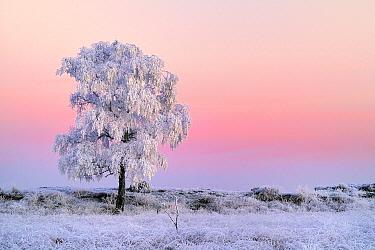 Lone tree at sunset in winter, Grenspark De Zoom, Kalmthoutse Heide, Kalmthout, Antwerp, Belgium  -  Danny Laps/ NiS