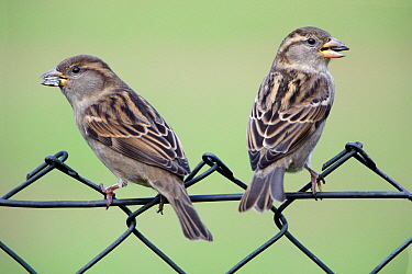 House Sparrow (Passer domesticus) females on garden fence, Lower Saxony, Germany  -  Duncan Usher