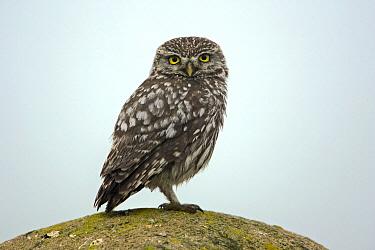 Little Owl (Athene noctua), Extremadura, Spain  -  Duncan Usher