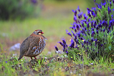 Red-legged Partridge (Alectoris rufa), Alentejo, Portugal  -  Duncan Usher
