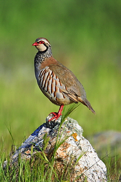 Red-legged Partridge (Alectoris rufa) male, Alentejo, Portugal  -  Duncan Usher