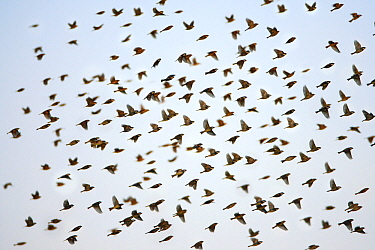 Spanish Sparrow (Passer hispaniolensis) flock flying, in the late evening, Extramadura, Spain  -  Duncan Usher