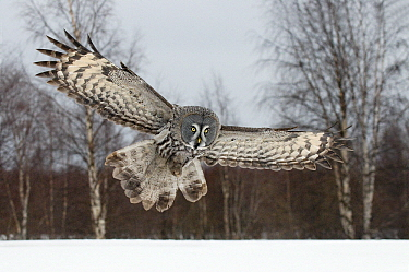 Great Gray Owl (Strix nebulosa) flying, Finland  -  Jan Vermeer