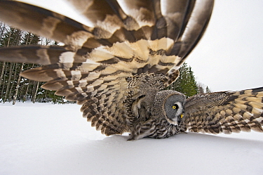 Great Gray Owl (Strix nebulosa) striking at prey, Finland  -  Jan Vermeer