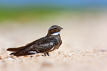 Common Nighthawk (Chordeiles minor) male in road, Winnie, Texas  -  Jan Wegener/ BIA