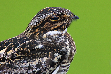 Common Nighthawk (Chordeiles minor) male, Winnie, Texas  -  Jan Wegener/ BIA