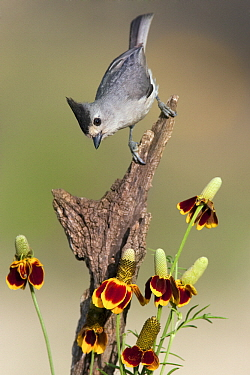 Black-crested Titmouse (Baeolophus atricristatus) on dead branch covered by native Mexican Hats (Ratibida columnifera), Austin, Texas  -  Jan Wegener/ BIA