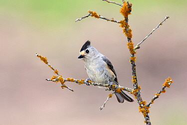 Black-crested Titmouse (Baeolophus atricristatus) on an old branch covered with lichens, Austin, Texas  -  Jan Wegener/ BIA