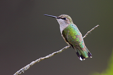 Black-chinned Hummingbird (Archilochus alexandri) female, Austin, Texas  -  Jan Wegener/ BIA