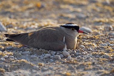 Crowned Lapwing (Vanellus coronatus) resting, Etosha, Namibia  -  Chris Stenger/ Buiten-beeld