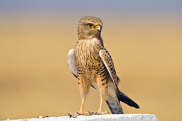 Greater Kestrel (Falco rupicoloides) on a stone, Etosha, Namibia  -  Chris Stenger/ Buiten-beeld