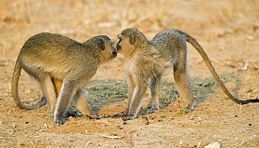 Black-faced Vervet Monkey (Cercopithecus aethiops) pair greeting each other, Mahango Game Reserve, Namibia  -  Chris Stenger/ Buiten-beeld