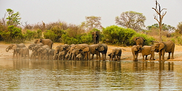 African Elephant (Loxodonta africana) herd drinking from Okavango River, Namibia  -  Chris Stenger/ Buiten-beeld