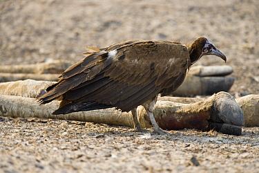 Hooded Vulture (Necrosyrtes monachus) scavenging from Southern Giraffe (Giraffa giraffa) carcass, Chobe National Park, Botswana  -  Chris Stenger/ Buiten-beeld
