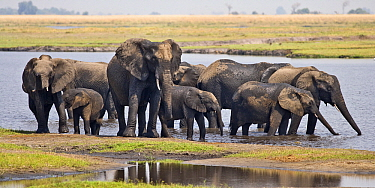 African Elephant (Loxodonta africana) herd cooling off and  drinking in Chobe River, Chobe National Park, Botswana  -  Chris Stenger/ Buiten-beeld