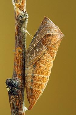 Scarce Swallowtail (Iphiclides podalirius) chrysalis  -  Silvia Reiche