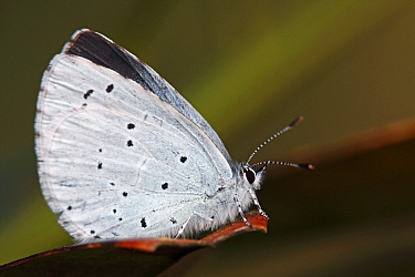 Holly Blue (Celastrina argiolus) butterfly female on leaf, Hoogeloon, Noord-Brabant, Netherlands  -  Silvia Reiche