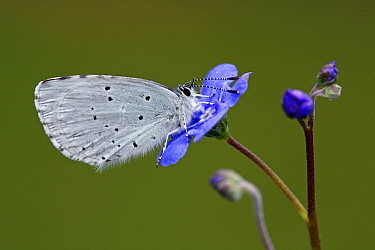 Holly Blue (Celastrina argiolus) butterfly on blue flower, Hoogeloon, Noord-Brabant, Netherlands  -  Silvia Reiche