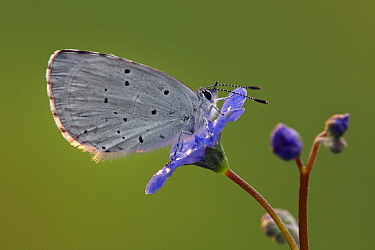Holly Blue (Celastrina argiolus) butterfly on flower, Hoogeloon, Noord-Brabant, Netherlands  -  Silvia Reiche