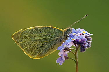 Cabbage Butterfly (Pieris brassicae) on Forget-me-not (Myosotis sp), Hoogeloon, Noord-Brabant, Netherlands  -  Silvia Reiche