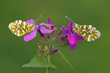 Orange Tip (Anthocharis cardamines) butterfly females on Annual Honesty (Lunaria annua) flowers, Hoogeloon, Noord-Brabant, Netherlands  -  Silvia Reiche