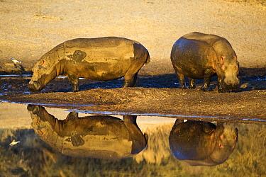 Hippopotamus (Hippopotamus amphibius) pair at water's edge, Makgadikgadi Pans, Boteti River, Khumaga, Botswana  -  Vincent Grafhorst