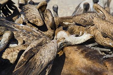 White-backed Vulture (Gyps africanus) group feeding on Blue Wildebeest (Connochaetes taurinus) carcass, Makgadikgadi Pans, Boteti River, Khumaga, Botswana  -  Vincent Grafhorst