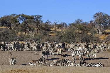 Zebra (Equus quagga) herd, Makgadikgadi National Park, Boteti River, Khumaga, Botswana  -  Vincent Grafhorst