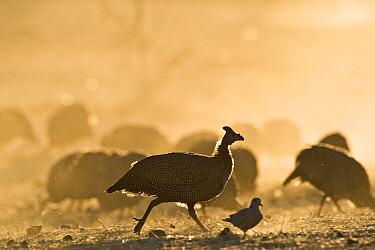 Helmeted Guineafowl (Numida meleagris) running, Makgadikgadi National Park, Boteti River, Khumaga, Botswana  -  Vincent Grafhorst