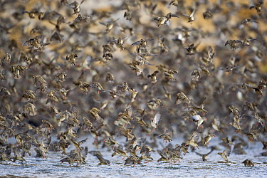 Red-billed Quelea (Quelea quelea) flock drinking and flying over waterhole, Makgadikgadi Pans, Boteti River, Khumaga, Botswana  -  Vincent Grafhorst