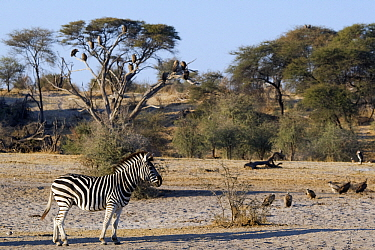Zebra (Equus quagga), Makgadikgadi National Park, Boteti River, Khumaga, Botswana  -  Vincent Grafhorst