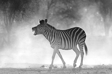Zebra (Equus quagga) vocalizing, Makgadikgadi Pans, Boteti River, Khumaga, Botswana  -  Vincent Grafhorst