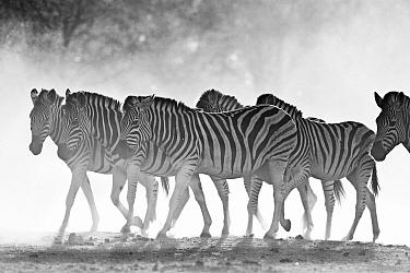 Zebra (Equus quagga) herd, Makgadikgadi Pans, Boteti River, Khumaga, Botswana  -  Vincent Grafhorst