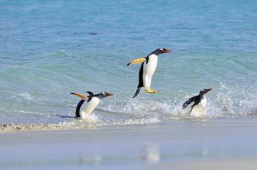 Gentoo Penguin (Pygoscelis papua) trio jumping out of water, Falkland Islands  -  Jan Baks/ NiS