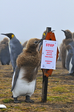 King Penguin (Aptenodytes patagonicus) molting juvenile and /nSTOP sign, Falkland Islands  -  Jan Baks/ NiS