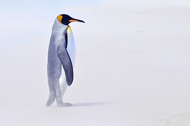 King Penguin (Aptenodytes patagonicus) in sandstorm, Volunteer Point, Falkland Islands  -  Jan Baks/ NiS