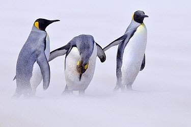 King Penguin (Aptenodytes patagonicus) group on windy beach, Volunteer Point, Falkland Islands  -  Jan Baks/ NiS