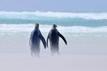 King Penguin (Aptenodytes patagonicus) pair on windy beach, Volunteer Point, Falkland Islands  -  Jan Baks/ NiS