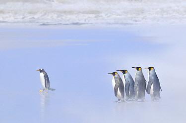 King Penguin (Aptenodytes patagonicus) group with one Gentoo Penguing (Pygoscelis papua) on windy beach, Volunteer Point, Falkland Islands  -  Jan Baks/ NiS