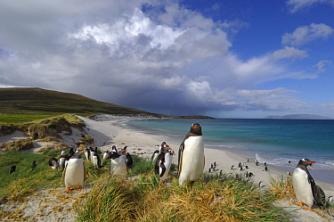 Gentoo Penguin (Pygoscelis papua) at coast, Falkland Islands  -  Jan Baks/ NiS