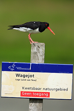 Eurasian Oystercatcher (Haematopus ostralegus) on sign, Wagejot, Texel, Netherlands  -  Duncan Usher