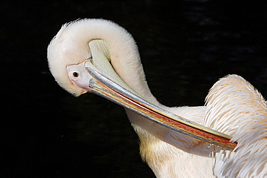 Great White Pelican (Pelecanus onocrotalus) preening, Europe  -  Duncan Usher