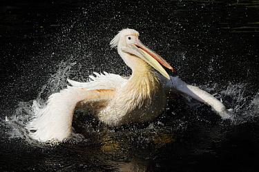 Great White Pelican (Pelecanus onocrotalus) bathing, Europe  -  Duncan Usher