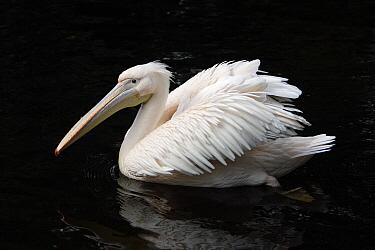 Great White Pelican (Pelecanus onocrotalus), Europe  -  Duncan Usher
