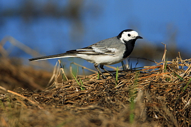 White Wagtail (Motacilla alba) foraging on the shore of a lake, Alentejo, Portugal  -  Duncan Usher