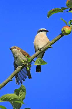 Red-backed Shrike (Lanius collurio) with juvenile, Lower Saxony, Germany  -  Duncan Usher