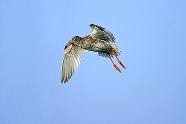 Common Redshank (Tringa totanus) flying, Texel, Netherlands  -  Duncan Usher
